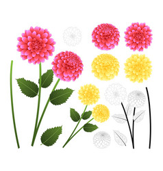 Pink and yellow dahlia with outline vector