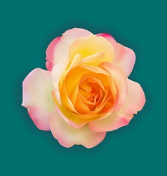 Realistic light pink mix yellow rose with soft vector image