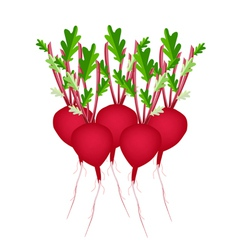 Stack of Radish Or Beet on White Background vector