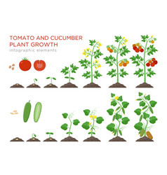 Tomato and cucumber plants growth stages vector