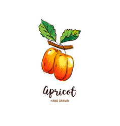 Apricot drawing hand drawn apricots vector