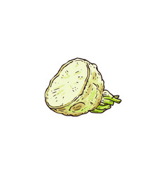 Hand drawn raw celery root plant cut up in half vector