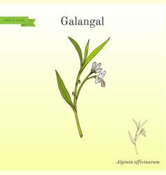 galangal alpinia officinarum medicinal plant vector image