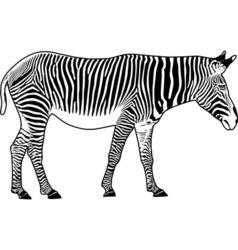 Zebra contour vector