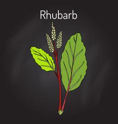 Rhubarb rheum rhabarbarum culinary and medicinal vector