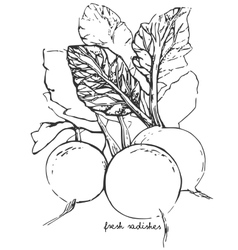 Hand-drawn sketch radish vector image vector image