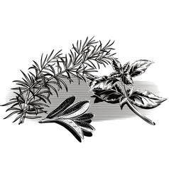 Branch of rosemary sage leaves and a sprig of vector