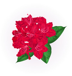 Flowers red rhododendron with leaves vector