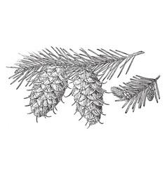 Pine cone of douglas spruce vintage vector