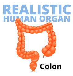 Realistic human colon isolated on white background vector