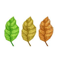 Three tobacco leaves with veins vector