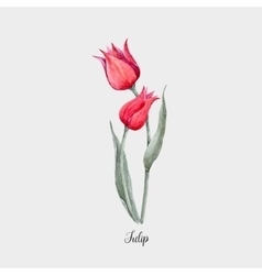 Watercolor red tulip flower vector