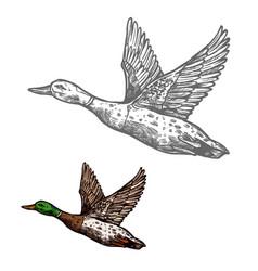 duck bird sketch of wild or farm waterfowl animal vector image