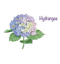 Hydrangea vector
