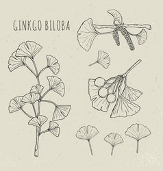 Collection ginkgo biloba branches with leaves vector