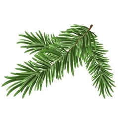 Green lush spruce branch Fir branches vector