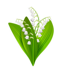 lilly of the valley isolated on white vector image