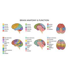Brain anatomy functions composition vector