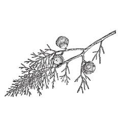 Branch of cupressus goveniana vintage vector