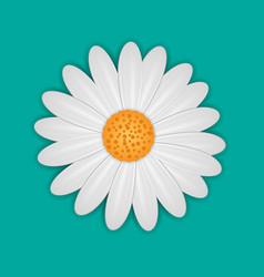 white daisy chamomile flower vector image