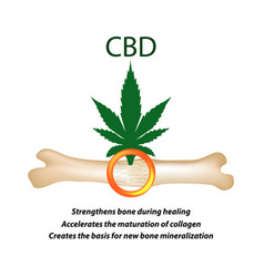 Effect of cannabis oil on bones and fractures vector