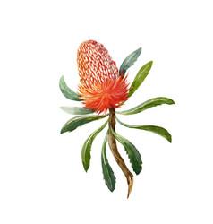 Watercolor banksia flower vector