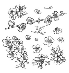 hand drawn elegant sakura flowers vector image