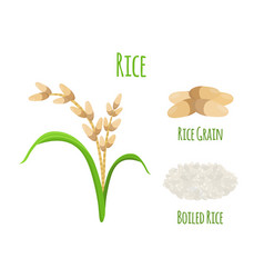 Rice plant vegetarian food harvest oryza wheat vector