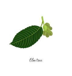 Drawing branch elm tree vector