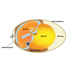 bird egg embryo diagram vector image