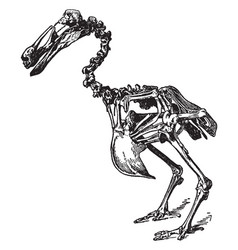 Dodo skeleton vintage vector