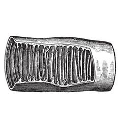 Small intestine vintage vector