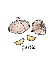hand-drawn of two garlic vector image
