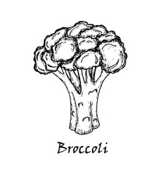 Broccoli drawing isolated on white background vector