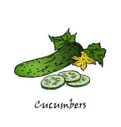 cucumber hand drawn vector image