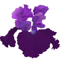 purple iris flower isolated on white background vector image