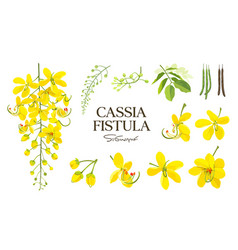 Cassis fistula collections thailand flowers vector