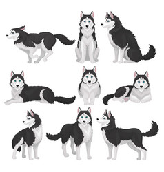 siberian husky set white and black purebred dog vector image
