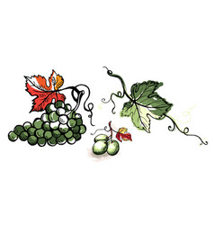 Watercolor ripe grape with leaves isolated on vector