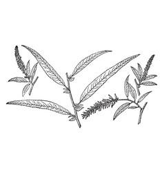 Branch of black willow vintage vector