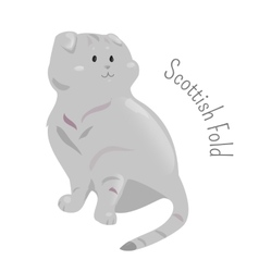 Scottish fold isolated on white background vector image