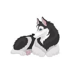 husky dog white and black purebred animal with vector image