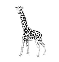 Hand drawn black and white giraffe vector