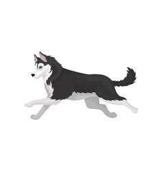 siberian husky running black and white fluffy vector image