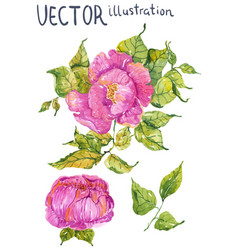 watercolor color flowers peony or rose vector image