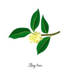 drawing branch bay tree vector image