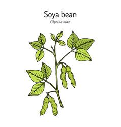 Soybean or soya bean glycine max vector