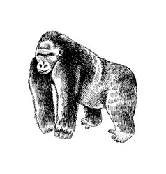 hand drawn gorilla vector image
