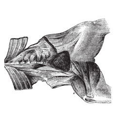 Muscles from the femoral region of the horse vector
