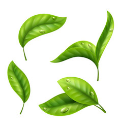 Realistic green tea leaves with drops isolated on vector